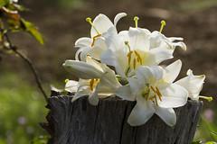 Champêtre (Doriane Boilly Photographie Nature) Tags: champêtre campagne blanc sigma nikon dorianeboilly