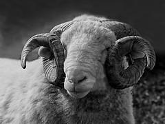 Ram with Attitude (jo92photos) Tags: ram sheep farm mammal wool wooly horns curly farmanimal blackandwhite 15challengeswinner