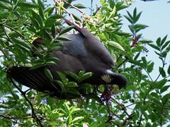 Woodpigeon (jubewakayama) Tags: wood pigeon columba palumbus kensington gardens