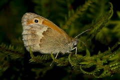 Small Heath (Coenonympha pamphilus) (wayne.withers1970) Tags: small pretty wings fly flight flying color colorful nature natural colour colourful wild wildlife england summer macromonday butterfly moth flickr dof bokeh country countryside outside outdoors alive fauna flora canon sigma light blur black white brown orange green coast fine dark macro macromondays invertebrate bug animal insect durlston park heath dorset fern