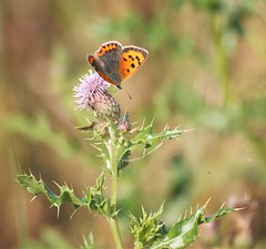 Small Copper Butterfly - Hauxley (Gilli8888) Tags: butterfly butterflies insects northeast northumberland hauxley olympus e450 smallcopper smallcopperbutterfly thistle flower flora