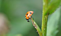 Balance (katy1279) Tags: ladybird waterdroplets macro nature insect