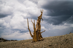 Thunderclouds Thunderstorm! Ancient Bristlecone Pine Forest Fine Art Landscape Photography! Breaking Summer Thunderstorm California Mountains! White Mountains California Fine Art Nature Photos! Sony A7RII & Sony SEL24240 FE 24-240mm f3.5-6.3 OSS Zoom Lens (45SURF Hero's Odyssey Mythology Landscapes & Godde) Tags: ancient bristlecone pine forest fine art landscape photography breaking summer thunderstorm california mountains white nature photos sony a7rii sel24240 fe 24240mm f3563 oss zoom lens