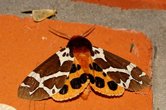 9791 (natali22206) Tags: бабочка ночныебабочки макро насекомые moth macro insect insects