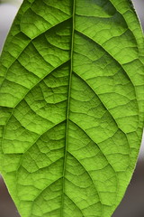 Avocado Leaf (derwulf) Tags: sunlight leaf leafy leafs green structure nature naturephotography naturaly naturphotogaphy natürlich beautyinnature beautyful macrophoto macro makro photography