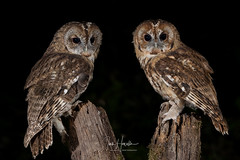 Tawny owls (Ian howells wildlife photography) Tags: ianhowells ianhowellswildlifephotography nature naturephotography nationalgeographic night unitedkingdom canon canonuk wildlife wildlifephotography wales wild wildbird wildbirds tawnyowl tawny owl
