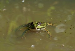 Frosch / frog (2) (Ellenore56) Tags: 10082018 frosch frog lurch wasserfrosch grünfrosch teichfrosch pelophylaxesculentus rana amphibian amphibie wasser water tier animal tiere animals lebewesen creature fauna tierwelt froggi natur nature detail moment augenblick sichtweise perception perspektive perspective reflektion reflection reflexion farbe color colour licht light inspiration imagination faszination magic magical sonyslta77 ellenore56 emotion schwimmen swim bathe