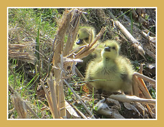 Brotherly Love (bigbrowneyez) Tags: park goslings two cute pretty golden glow sweet dolce lovely adorable nature natura reeds hill fluffy fuzzy cuddly delightful fun funny joyful charming andrewhaydenpark detail precious twins firstdayofsummer easyliving summertime