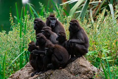 sulawesi (crested) macaques (johnoreillydesign) Tags: macaque animal monkey