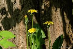 Good Morning -  enjoying a new sunny day (Sockenhummel) Tags: löwenzahn dandelion butterblume blume gelb baum baumstamm landwehrkanal fuji xt10 sommer