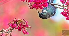 Tūī 46 (Black Stallion Photography) Tags: tūī bird wildlife newzealand nzbirds pink flowers blossom spring nectar purple blue green feathers yellow pollen beak black stallion photography igallopfree