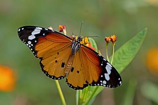Danaus chrysippus - the Plain Tiger (male)