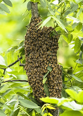 Swarm of honey bees (Thomas Muir) Tags: tommuir perrysburg ohio woodcounty summer apismellifera apiary queen worker outdoor walnut tree insect season nikon 600mm d850 mind woods midwest nest cluster agriculture