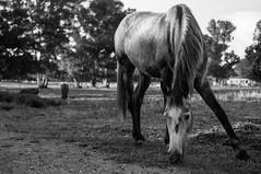 Shiny Horse (Jethro_aqualung) Tags: nikon d800e horse animal nature italy bn bw monochrome 50mm shiny