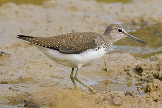 (098) Bird - Green Sandpiper - Lackford Lakes