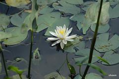 2-DSC_0024 (adamsshawn390) Tags: lily flower watcher flowerwatcher