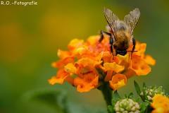 Makro / Macro (R.O. - Fotografie) Tags: makro macro biene bee blume flower bokeh rofotografie outside outdoor natur nature closeup close up nahaufnahme panasonic lumix dmcgx8 dmc gx8 olympus 60mm animal insekt insect tier