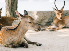 Shading sunlight (maida0922) Tags: em1 mzuiko12100mmf40ispro japan hiroshima miyajima deer summer animal resting afternoon hot