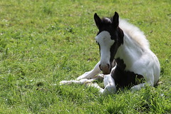 Sweet   Little Lou Lou (excellentzebu1050) Tags: livestock foal newlife newborn horse field farm animal animalportraits closeup birth coth coth5 sunrays5