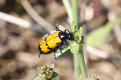 Mylabris sp beetle we think (roger_forster) Tags: insect beetle yellow black tuscany italy