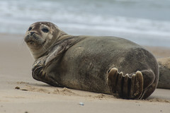 Harbour (Common) Seal Phoca vitulina Flipper Rubbing (2) (Barbara Evans 7) Tags: harbour common seal horsey norfolk uk barbara evans7