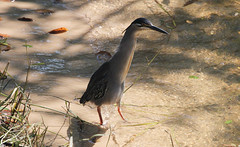 Butorides striata (Green-backed Heron; Striated Heron) (Arthur Chapman) Tags: aves birds butorides striata butoridesstriata greenbackedheron striatedheron caprivihouseboatsafarilodge zambeziriver zambezi caprivi katimamulilo namibia taxonomy:kingdom=animalia taxonomy:phylum=chordata taxonomy:class=aves taxonomy:order=ciconiiformes taxonomy:family=ardeidae taxonomy:common=greenbackedheron taxonomy:common=striatedheron geocode:accuracy=30meters geocode:method=gps geo:country=namibia geo:region=africa taxonomy:binomial=butoridesstriata taxonomy:genus=butorides