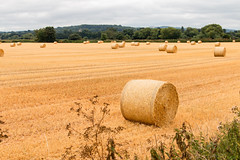 After the harvest (Keith in Exeter) Tags: harvest straw bale round roll stubble cereal crop field golden plant farming hedge tree forest landscape church tower bramfordspeke stokecanon rewe devon