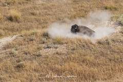 Wallowing Buffalo (NikonDigifan) Tags: nationalbisonrange montana buffalo wildlife wildlifephotography wallowing dust nikond750 nikon nikon28300 animal mikegassphotography