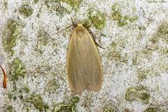 Dingy Footman (Eilema griseola) (Hoppy1951) Tags: gilwern monmouthshire wales gbr allanhopkins hoppy1951 uk mygarden dingyfootman eilemagriseola moth lepidoptera