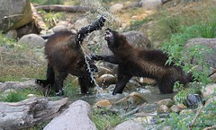 Gloutons_VIDJA et SAIVO (Passion Animaux & Photos) Tags: glouton carcajou wolverine gulogulo parc animalier saintecroix france