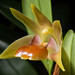 [Taiwan] Dendrobium nakaharae Schltr., Repert. Spec. Nov. Regni Veg. 2: 169 (1906)