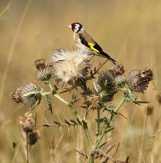 Goldfinch feeding on thistles