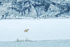 LARS (Rainer ❏) Tags: eisbär polarbear recherchegletscher recherchebreen gletscher glacier fjord nationalparkssüdspitzbergen spitsbergen spitzbergen svalbard norwegen norge norway color xt2 rainer❏