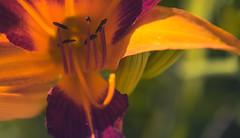(Xavier Larrosa) Tags: flora flower barcelona flores lilium orange naranja rojo petalos zoom