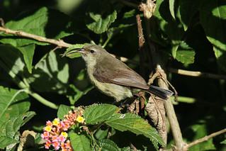 Cinnyris venustus ♀ (Variable Sunbird) - Isunga, Uganda
