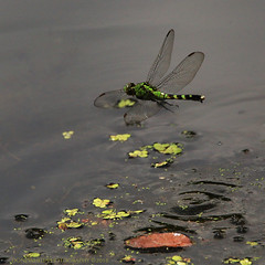 green dragonfly (don.white55 That's wild...) Tags: dragonly insect wildwoodlake wildwoodpark nature wildlife canoneos70d tamronsp150600mmf563divcusda011 thatswildnaturephotography duckweed green pennsylvaniawildlife harrisburgpennsylvania dauphincounty inflight lake tamron150600mm lens 150600mm donpwhitephotography greendragonerythemissimplicicollis