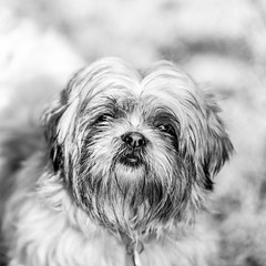 Falkor04Aug20182-Edit.jpg (fredstrobel) Tags: dogs pawsatanta phototype atlanta blackandwhite usa animals ga pets places pawsdogs decatur georgia unitedstates us