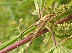Nursery Webber (Lostash) Tags: nature life spiders arachnids nurserywebspider macro wildlife