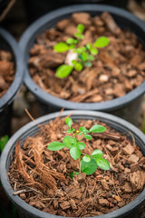 Growing green tree in pot coverred by brown coconut shell residue (jack-sooksan) Tags: small green tree growing grow leaf birth growth pot coconut shell residue cover soil moisture bloom blossom spring botany garden farm closeup nature plant plantation planting crop seed flower herb vegetable organic organism flora floral nursery cultivate brown sow
