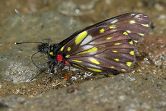 Catasticta hegemon (Over 4 million views!) Tags: butterfly catastictahegemon panama pieridae butterflies insect