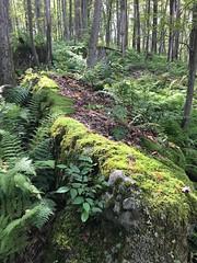 Minnetoska woods (karma (Karen)) Tags: oakland maryland minnetoska woods forest rocks moss ferns iphone