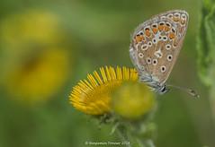 Common Blue - Polyommatus icarus (frattonparker) Tags: btonner bokeh butterfly depthoffield farfalle isleofwight lightroom6 macro mariposa nikkor105mmafsmicrof28ged nikond810 papilon prime raw schmetterling summer frattonparker walterscopse