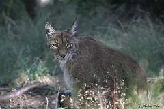 Lynx (Passion Animaux & Photos) Tags: lynx parc animalier auvergne france