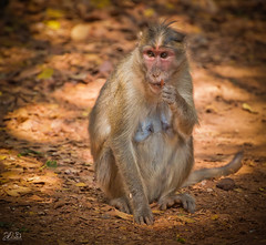 D75_3405 (@sumitdhuper) Tags: wallshare beauty monkey wildlife expression nature