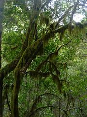 Szakállzuzmós fa (ossian71) Tags: spanyolország spain kanáriszigetek canaryislands gomera lagomera garajonay tájkép landscape természet nature erdő forest szubtrópus subtropic laurisilva babérerdő