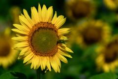 sunflower_072918_11 (Linda Moll Walker) Tags: sunflowers elverson pa summer