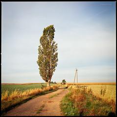 Schwarzpappel am Wegesrand (Konrad Winkler) Tags: baum pappel schwarzpappel feld strommast sommer polen morgenlicht dorf weg hasselblad503cx mittelformat 6x6 epsonv800 lasocice