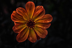 Yellow (anderswetterstam) Tags: flowers nature seasons floral flora botanical yellow orange closeup colorful
