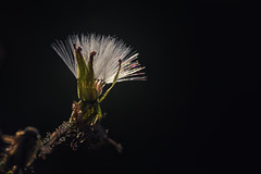 Backlight (anderswetterstam) Tags: flowers nature seasons flora floral botanical summer summertime dark backlight closeup