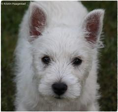 Billie!  Explored 4.8.2018 (K. Haagestad) Tags: westie westhighlandwhiteterrier puppy pup dog cute white portrait